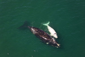 whales/aerial view southern right whale eubalaena australis