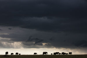 home wild/african elephant loxodonta africana herd silhouetted
