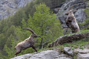 july 2019 highlights/alpine ibex capra ibex adult males fighting