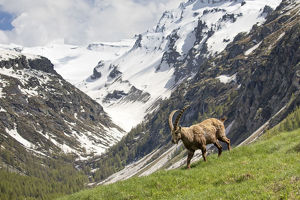 july 2019 highlights/alpine ibex capra ibex landscape valsavarenche