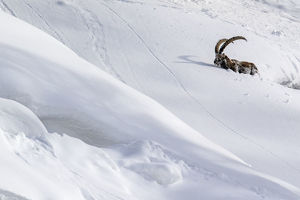 july 2019 highlights/alpine ibex capra ibex struggling deep snow