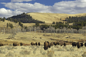 latest highlights/highlights 2013/american buffalo bison bison bison grazing