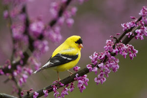 yellow/american goldfinch carduelis tristis male breeding