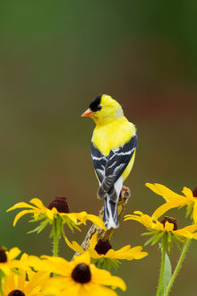 north american birds/american goldfinch carduelis tristis male perched