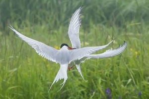 july 2019 highlights/arctic tern sterna paradisaea fighting mid air