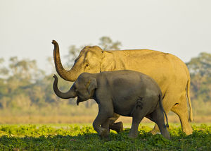 happy/asiatic elephants elephas maximus indicus sniffing