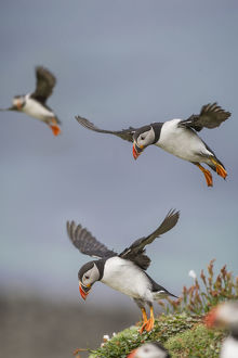 highlights 2015/atlantic puffins fratercula arctica flying near