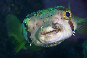 happy/balloonfish diodon holocanthus cabo pulmo national