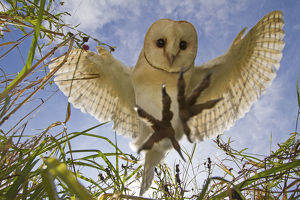 magic moment/barn owl tyto alba hunting hovering somerset