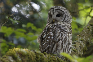 north american birds/barred owl strix varia adult resting tree king