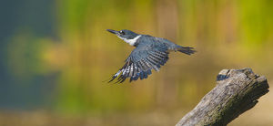 north american birds/belted kingfisher ceryle alcyon female taking