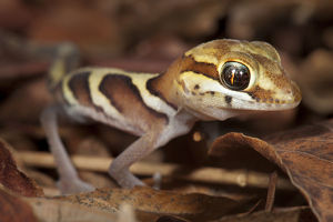 forests world/big eyed headed gecko paroedura pictus forest