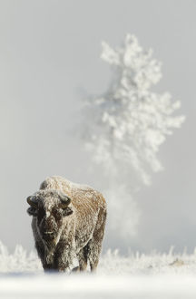 danny green/bison bison bison frost covered ground yellowstone