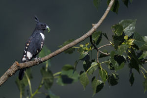 wild wonders china/black baza aviceda leuphotes sitting tree branch