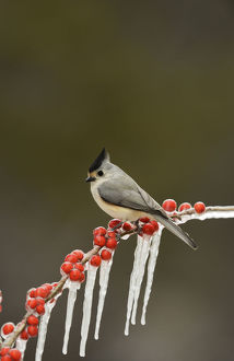 north american birds/black crested titmouse baeolophus bicolor adult