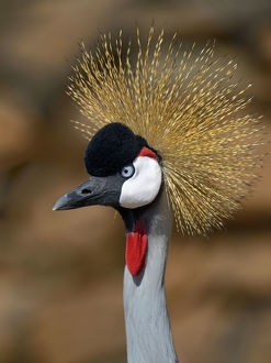 requests/black crowned crane balearica pavonina portrait
