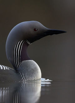 highlights 2015/black throated diver gavia arctica water finland