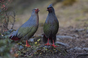 wild wonders china/blood pheasant birds ithaginis cruentus males