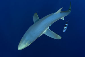 latest highlights/highlights 2013/blue shark prionace glauca pico island azores