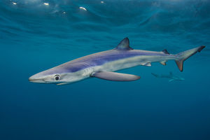 alex mustard/blue sharks prionace glauca cruise beneath surface