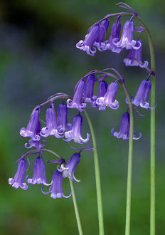 purple/bluebells endymion non scriptus flowering perthshire