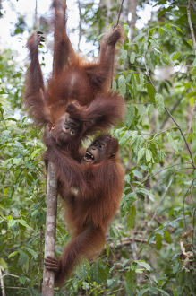 happy/bornean orangutan pongo pygmaeus infants aged