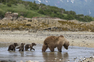 north american wildlife/brown bear ursus arctos mother 3 4 month cubs