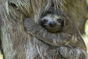 baby animals/brown throated three toed sloth bradypus variegatus