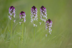 flowers/burnt burnt tip orchid orchis ustulata flowering