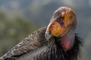 december 2018 highlights/california condor gymnogyps californianus wild