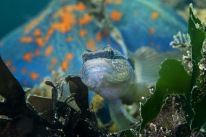 wild wonders china/chameleon goby tridentiger trigonocephalus blue