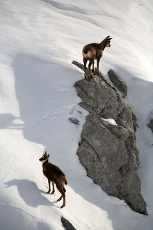latest highlights/highlights 2009/chamois rupicapra rupicapra female young snow
