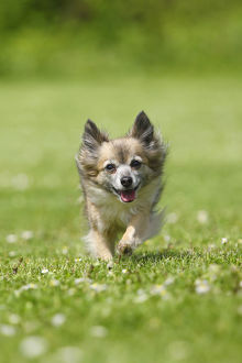 happy/chihuahua long haired 11 years running lawn
