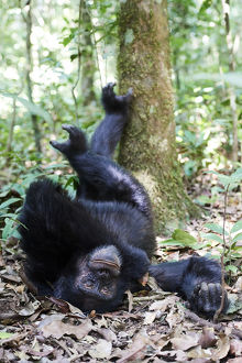 july 2019 highlights/chimpanzee male pan troglodytes schweinfurthii