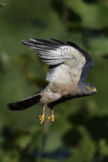 wild wonders china/chinese sparrowhawk accipiter soloensis flying