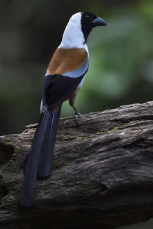 wild wonders china/collared treepie dendrositta frontalis bird