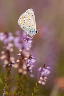 purple/common blue butterfly polyommatus icarus resting