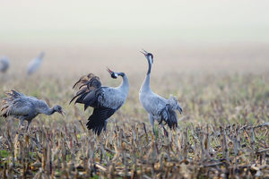 autumn/common crane grus grus juvenile adult calling