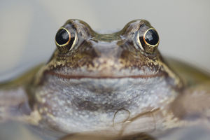 happy/common frog rana temporaria garden pond warwickshire