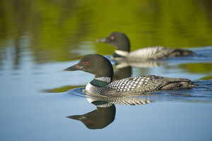 north american birds/common great northern loon gavia immer pair
