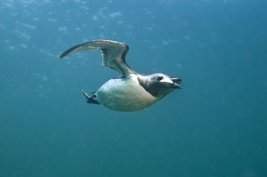 2020vision/1/common guillemot uria aalge swimming underwater