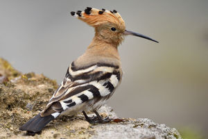 wild wonders china/common hoopoe upupa epops sitting stone tangjiahe