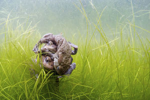 magic moment/common toads bufo bufo mating ball underwater