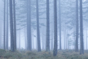 tranquility/coniferous forest mist bolderwood new forest