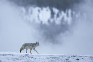 north american wildlife/coyote canis latrans wintry landscape yellowstone
