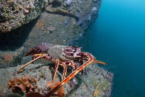 marine life channel islands sue daly/crawfish spiny lobster palinurus elephas letac