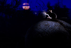 magic moment/deer mouse peromyscus maniculatus giant puffball