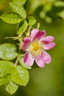 2020vision/1/dog rose rosa canina flowering healthy hedgerow
