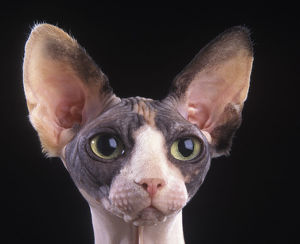 latest highlights/highlights 2013/domestic cat sphynx canadian hairless head