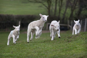 latest highlights/highlights 2011/domestic sheep lambs playing field norfolk uk